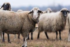 Kudde van schapen op weiland royalty-vrije stock afbeelding