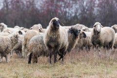 Kudde van schapen op weiland royalty-vrije stock afbeeldingen
