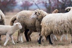 Kudde van schapen op weiland royalty-vrije stock fotografie