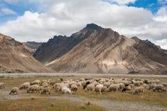 Kudde van schapen tegen de achtergrond van Zanskar-bergketen Stock Afbeeldingen