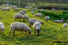 Kudde van schapen in Zeeland, Holland Stock Afbeelding