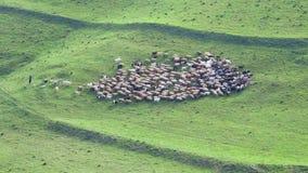 Kudde van schapenweiland in de bergen stock video