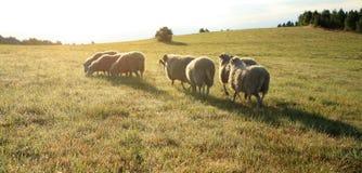 Kudde van sheeps â Skudde royalty-vrije stock fotografie
