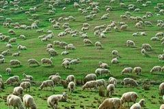 Kudde van Sheeps Royalty-vrije Stock Fotografie