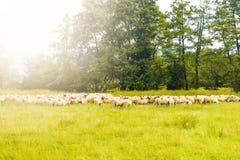 Kudde van sheeps die op het groene gebied weiden Gestileerde voorraadfoto met het mooie weiland en sheeps in Roemenië royalty-vrije stock afbeelding