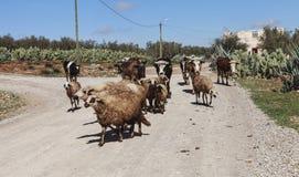 Kudde van sheeps op de weg Stock Foto