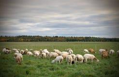 Kudde van Sheeps op een Gebied tijdens Dalingsseizoen Stock Afbeeldingen