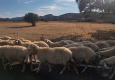 Kudde van sheeps op een weg in Sardinige Royalty-vrije Stock Fotografie