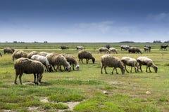 Kudde van sheeps in platteland Stock Afbeelding