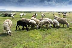 Kudde van sheeps in platteland Royalty-vrije Stock Fotografie