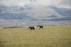 Kudde van stieren Stock Foto's