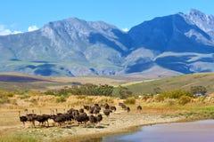 Kudde van struisvogels op berglandbouwbedrijf Royalty-vrije Stock Afbeeldingen