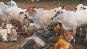 Kudde van Thaise Koeien die op een Vuil Weiland in Azië weiden Het open gebied van het koelandbouwbedrijf thailand stock videobeelden