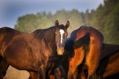 Kudde van Trakehner-Paarden bij de zomer Stock Foto