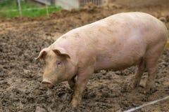 Kudde van varkens bij het landbouwbedrijf van het varkensfokken stock afbeeldingen