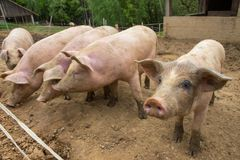 Kudde van varkens bij het landbouwbedrijf van het varkensfokken Stock Foto
