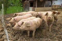 Kudde van varkens bij het landbouwbedrijf van het varkensfokken royalty-vrije stock afbeeldingen