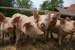 Kudde van varkens bij het landbouwbedrijf van het varkensfokken Stock Afbeelding