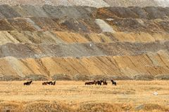 Kudde van vrij-Zwerft Wild Feral Horses in Hooglandvallei, Briti Stock Foto's