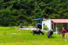 Kudde van waterbuffels in landelijk dorp, Annapurna-Behoudsgebied, Nepal royalty-vrije stock fotografie
