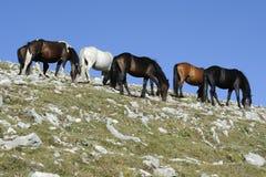 Kudde van Wild paard Stock Afbeelding