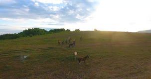 Kudde van wild paarden die bij dageraad onder grenzeloze hemel weiden stock videobeelden