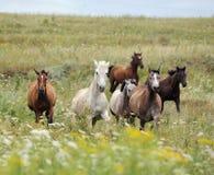 Kudde van wild paarden die op het gebied lopen Stock Foto