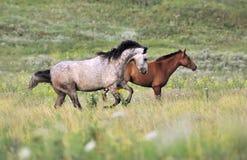 Kudde van wild paarden die op het gebied lopen Royalty-vrije Stock Fotografie