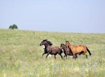 Kudde van wild paarden die op het gebied lopen Stock Foto's