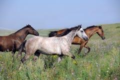 Kudde van wild paarden die op het gebied lopen Stock Fotografie