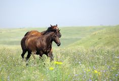 Kudde van wild paarden die op het gebied lopen Royalty-vrije Stock Foto's