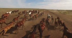 Kudde van wild paarden die over vlaktes lopen stock footage