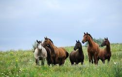 Kudde van wild paarden op het gebied Stock Foto's