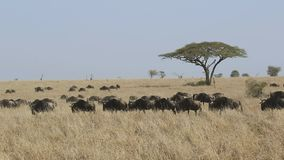 Kudde van wilde gans die onder het hoge droge gras in de Serengeti-savanne in droog seizoen lopen stock footage