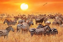 Kudde van wilde zebras en het meest wildebeest in de Afrikaanse savanne tegen een mooie oranje zonsondergang De wilde aard van Ta stock foto