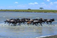 Kudde van Wildebeest die een rivier in Serengeti kruisen stock afbeelding