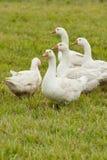Kudde van witte binnenlandse ganzen Royalty-vrije Stock Foto's