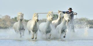 Kudde van Witte Camargue-Paarden die door water galopperen Royalty-vrije Stock Fotografie