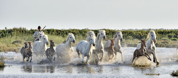 Kudde van Witte Camargue-Paarden die door watermoerassen galopperen Royalty-vrije Stock Foto's