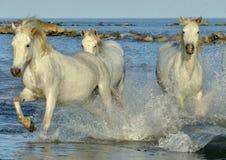 Kudde van Witte Camargue-Paarden die op het water lopen Stock Foto's
