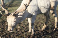Kudde van witte deers op gebied op de winterochtend stock foto