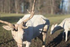 Kudde van witte deers op gebied op de winterochtend stock foto's