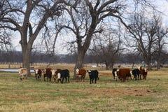 Kudde van witte onder ogen gezien koeien die vooruit in a in een horizontale lijn in weiland onder grote bomen met vijver op acht Stock Foto