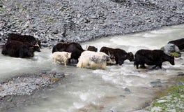 Kudde van yakspassen door de bergrivier stock afbeeldingen