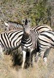 Kudde van zebra Royalty-vrije Stock Afbeeldingen