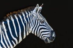 Kudde van Zebra royalty-vrije stock foto's