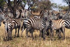 Kudde van Zebra stock fotografie