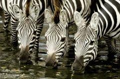 Kudde van zebra in Masai mara Kenia Stock Afbeeldingen