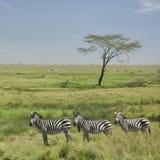 Kudde van zebra in Serengeti royalty-vrije stock foto