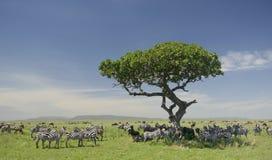 Kudde van zebra in Serengeti stock afbeeldingen